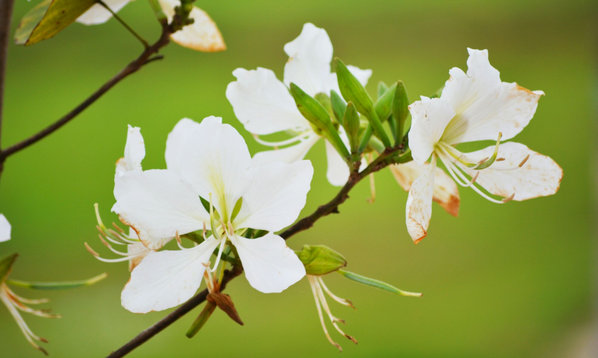 广东四会美丽乡村《地豆镇水车村》欣赏樱花