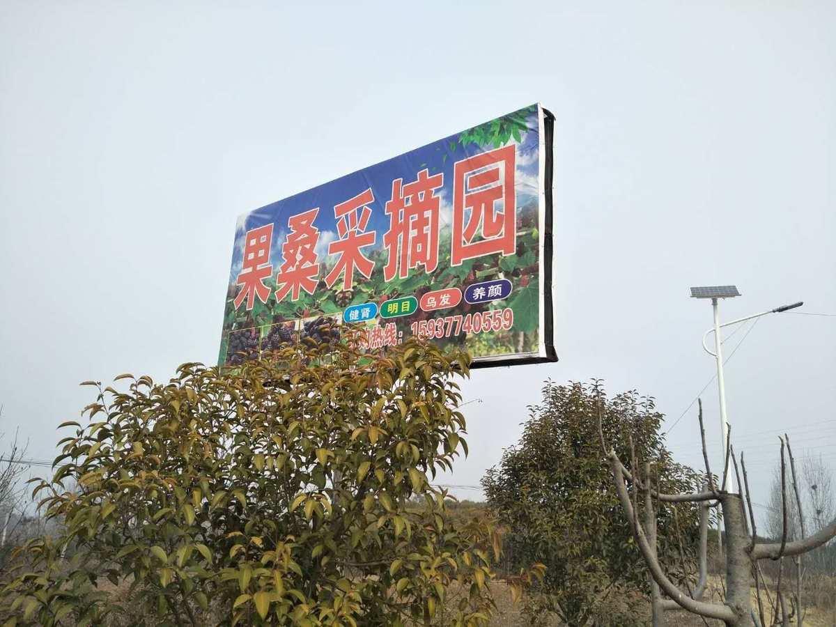 南召县桑葚成熟采摘啦云阳镇当中庄村生态示范园