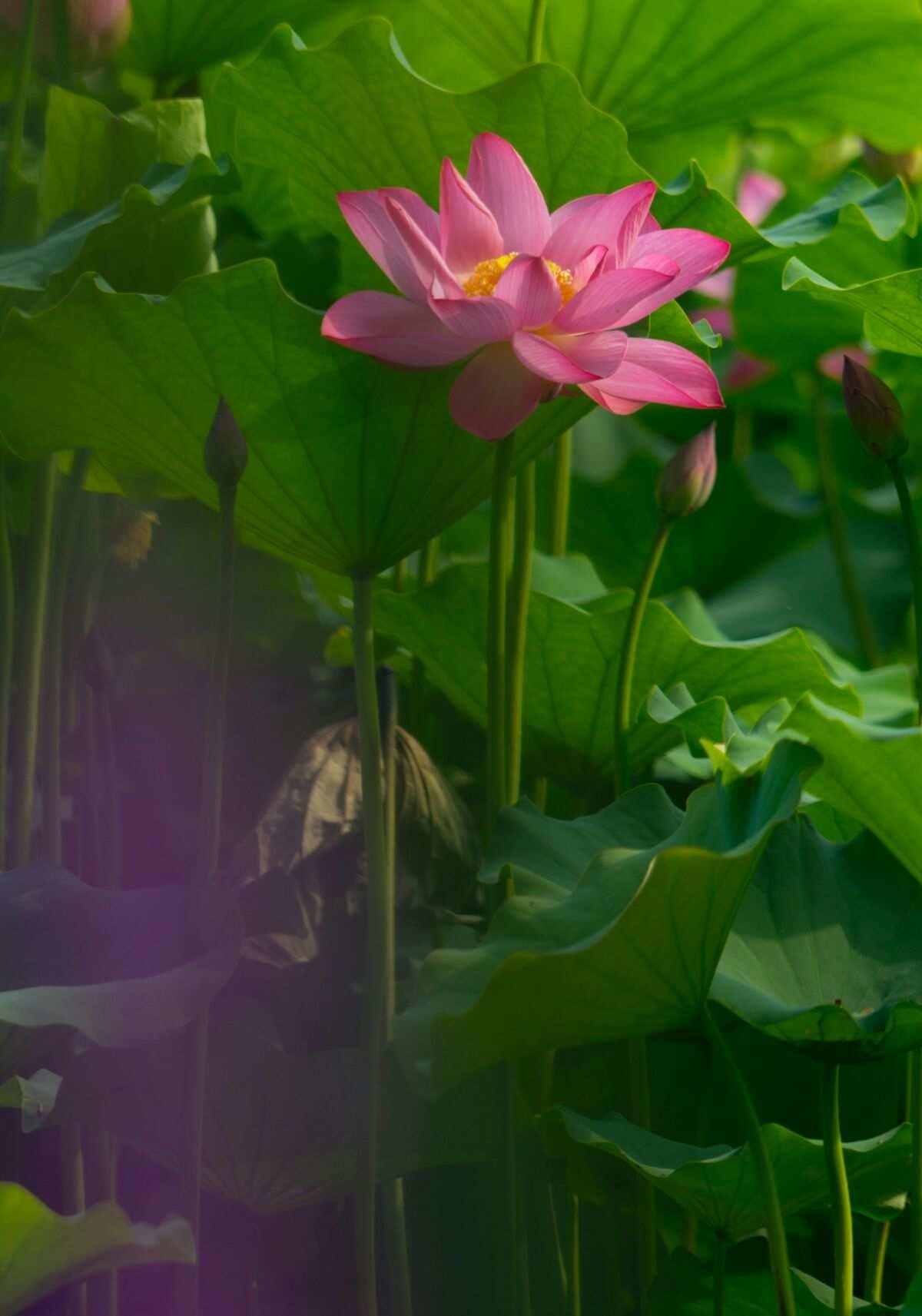 荷花与蜻蜓