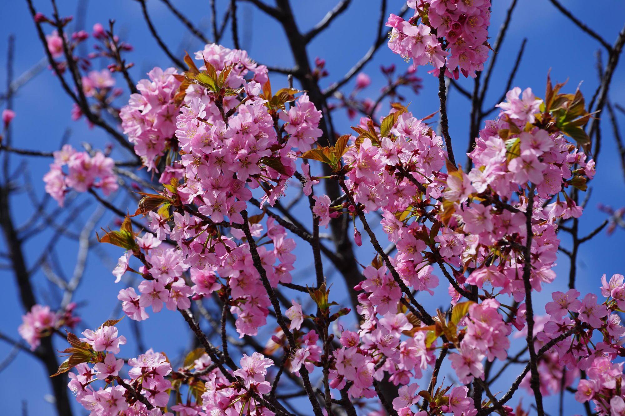 早起鸟儿的赏樱与拍花乐趣