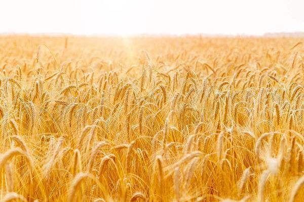 麦子熟了 (作者:梁芳)