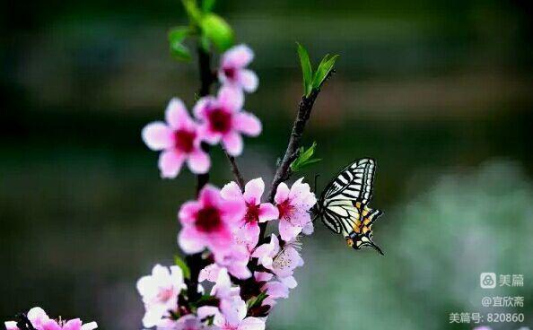 蝴蝶捧起桃花泪水涟涟的脸颊